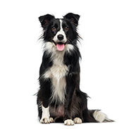 ฺBorder collie