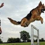 ฝึกหมา