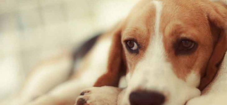 คนรักสุนัขต้องรู้เกี่ยวกับโรคหัดในสุนัข