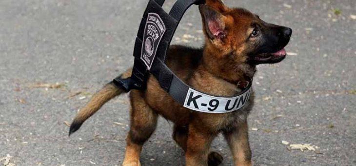 นอกจากตำรวจจะมียศแล้ว สุนัขตำรวจก็มียศนะจะบอกให้